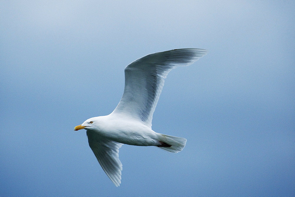 Glaucous gull (Larus hyperboreus), Svalbard, Norway, Scandinavia, Europe - 918-63