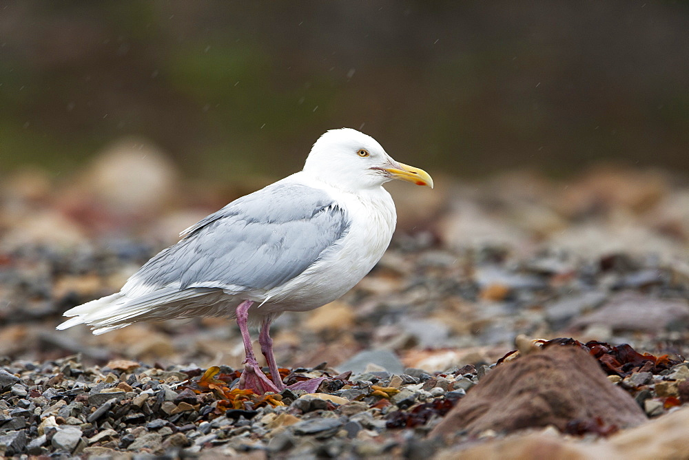 Glaucous gull (Larus hyperboreus), Svalbard, Norway, Scandinavia, Europe - 918-64
