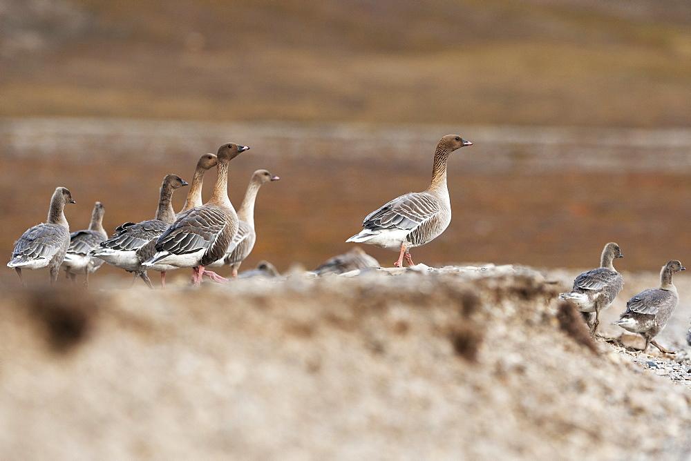 Pink-footed goose (Anser brachyrhynchus), Svalbard, Norway, Scandinavia, Europe - 918-65