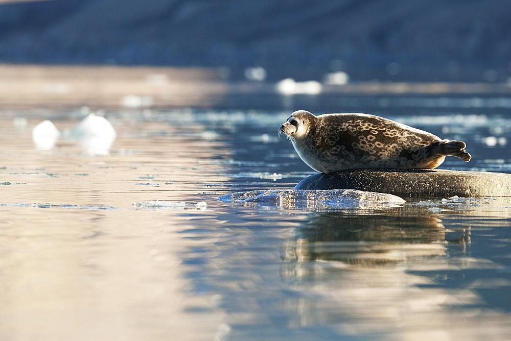Ringed seal (Pusa hispida), Svalbard, Norway, Scandinavia, Europe - 918-69