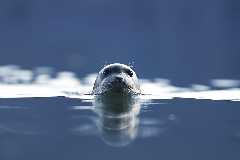 Ringed seal (Pusa hispida), Svalbard, Norway, Scandinavia, Europe - 918-70