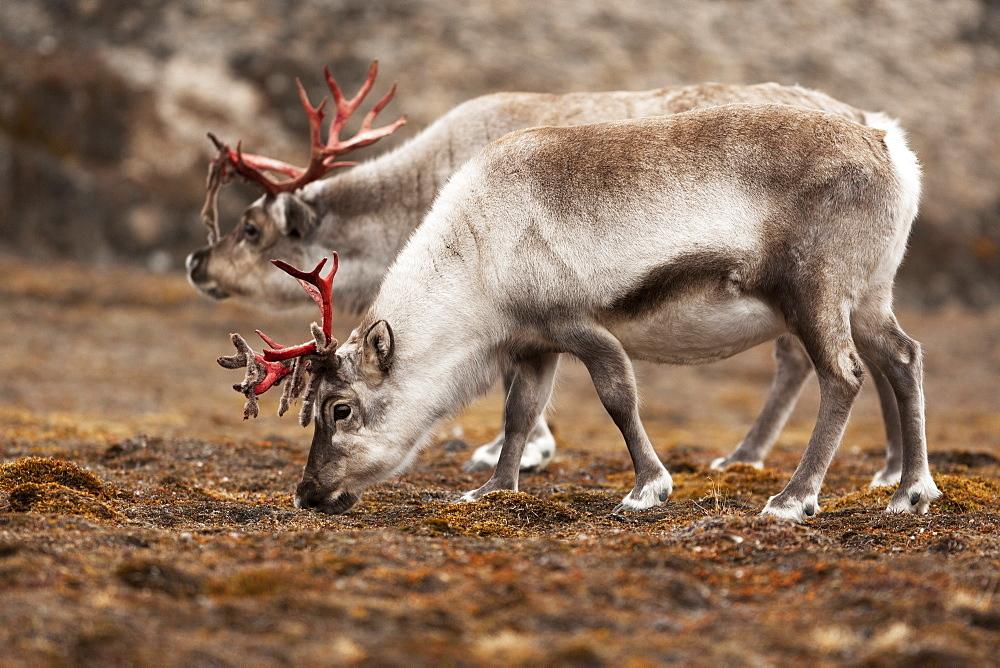 Svalbard reindeer (Rangifer tarandus platyrhynchus), Svalbard, Norway, Scandinavia, Europe - 918-75