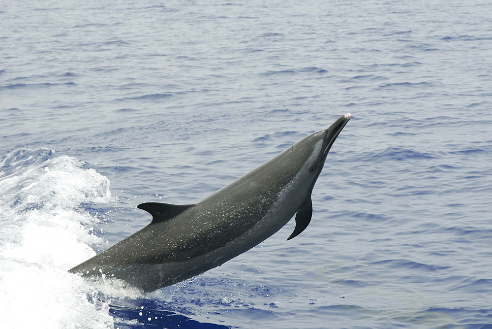 Pantropical spotted dolphin (Stenella attenuata) leaping, Kailua-Kona, Hawaii, United States of America, Pacific