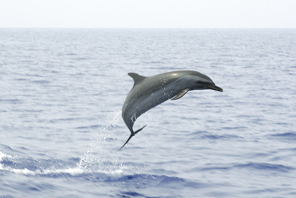 Pantropical spotted dolphin (Stenella attenuata) leaping, Kailua-Kona, Hawaii, United States of America, Pacific - 920-1025