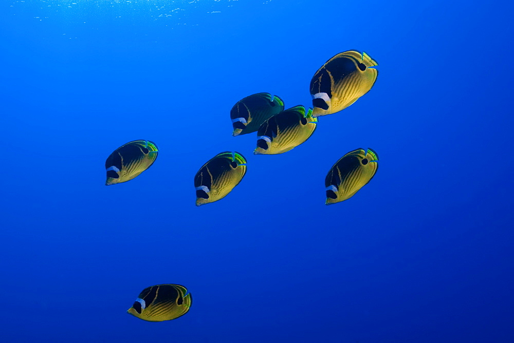 Racoon butterflyfish (Chaetodon lunula), Kailua-Kona, Hawaii, United States of America, Pacific