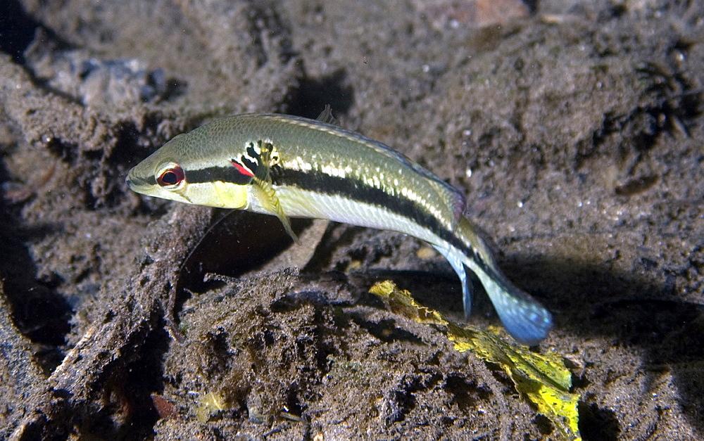 Pike cichlid (Crenicichla lepidota), Prata River, Bonito, Mato Grosso do Sul, Brazil, South America