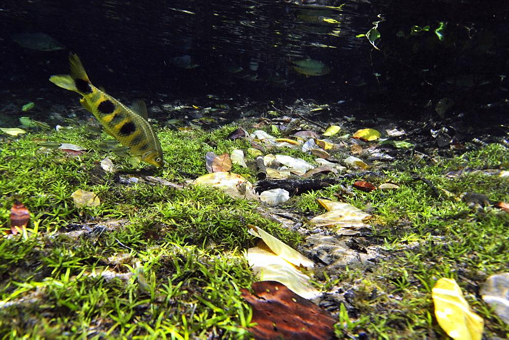 Piaussu (Leporinus macrocephalus) forating in the Prata River, Bonito, Mato Grosso do Sul, Brazil, South America