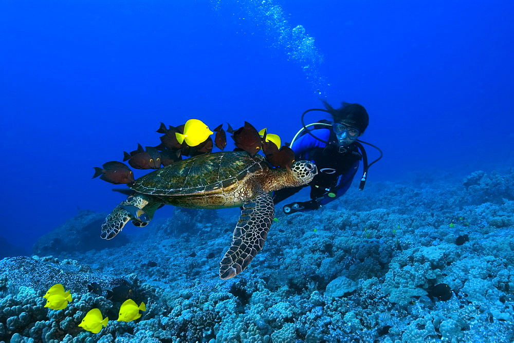 A diver observes green sea turtle (Chelonia mydas) getting cleaned by yellow tangs (Zebrasoma flavescens) and lined bristletooth (Ctenochaetus striatus), Kailua-Kona, Hawaii, United States of America, Pacific
