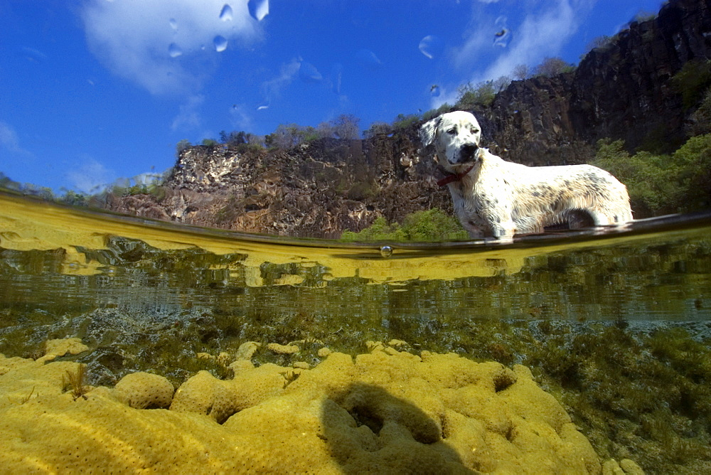 Dog and massive colony of great star coral (Montastrea cavernosa), in shallow tide pool, Fernando de Noronha, UNESCO World Heritage Site, Brazil, South America