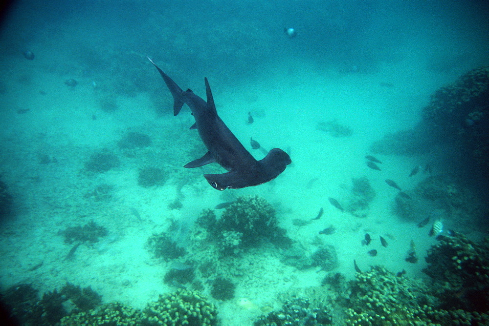Scalloped hammerhead shark pup (Sphyrna lewini), Hawaii Institute of Marine Biology, Kaneohe, Oahu, Hawaii, United States of America, Pacific