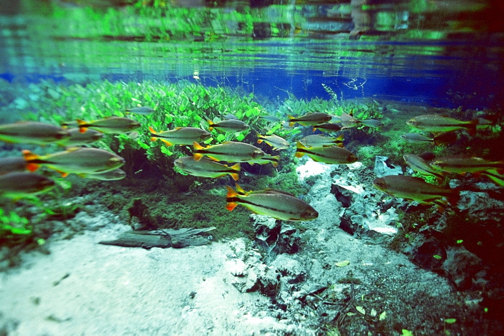 Piraputangas (Brycon microlepis), in natural freshwater spring preserve, Aqua Rio Natural, Bonito, Brazil, South America