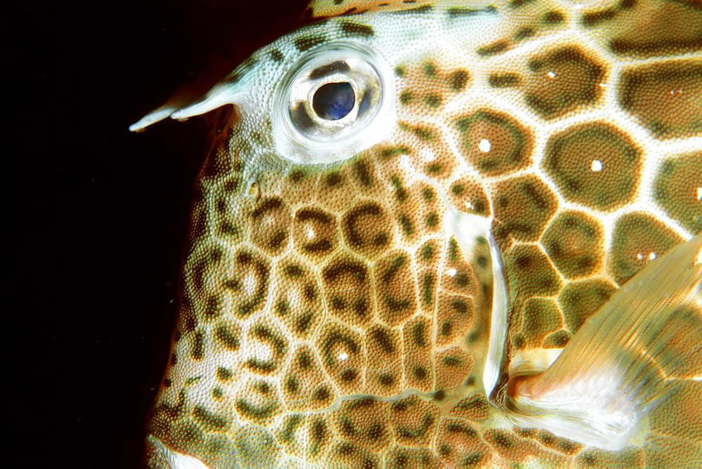 Honeycomb cowfish (Lactophrys polygonia) at night, Abrolhos National Marine Sanctuary, Bahia, Brazil, South America