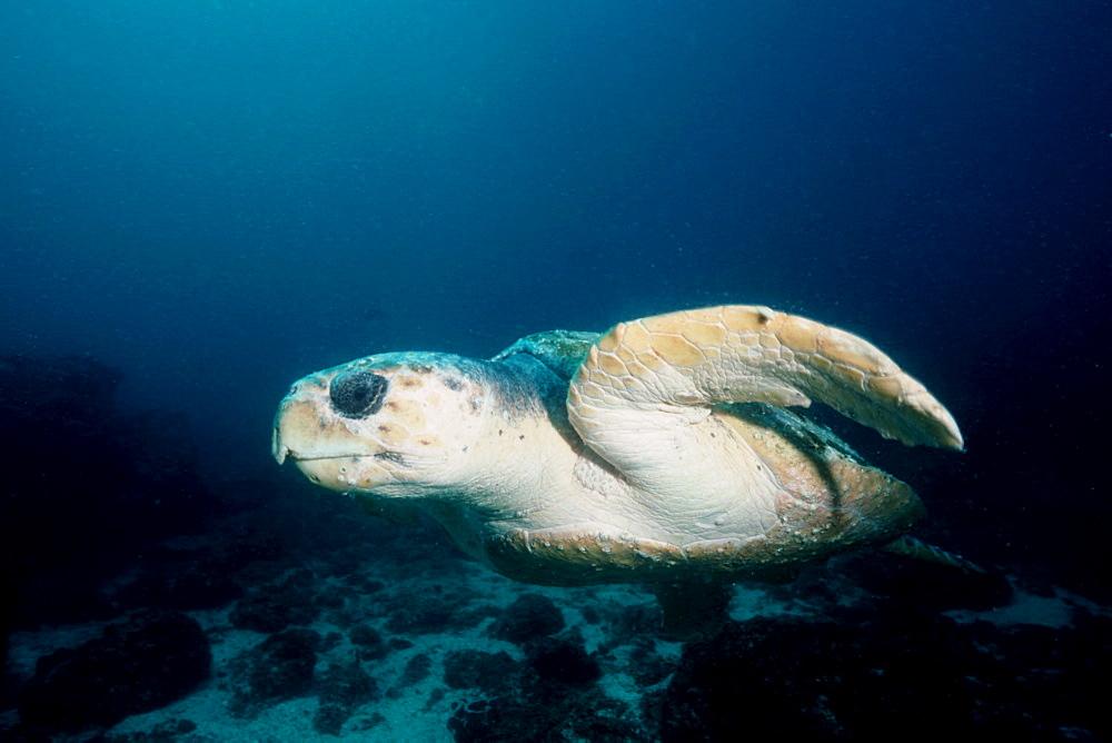 Loggerhead turtle (Caretta caretta), Julian Rocks, Byron Bay, Australia, Pacific