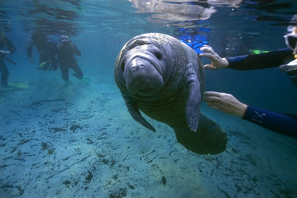 Free divers observe playful Florida manatee (Trichechus manatus latirostrus), Crystal River, Florida, United States of America, North America - 920-1325
