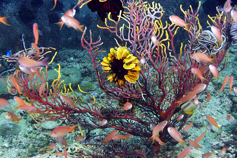 Feather star on sea fan and scalefin anthias (Pseudanthias squamipinnis), Kilima steps, Puerto Galera, Mindoro, Philippines, Southeast Asia, Asia