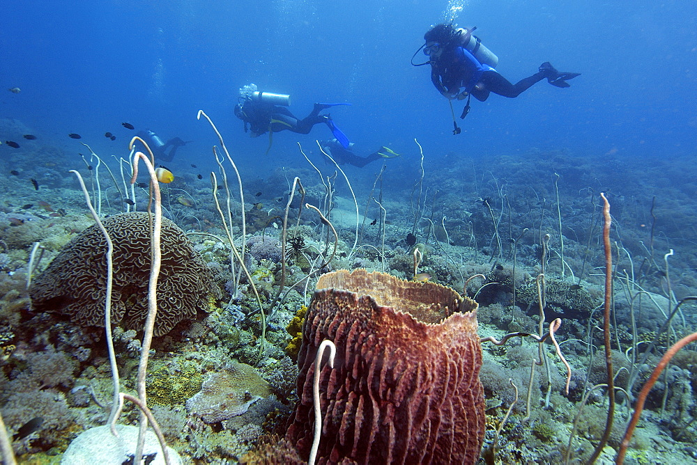 Divers explore a field of whip corals (Junceella fragilis), Puerto Galera, Mindoro, Philippines, Southeast Asia, Asia