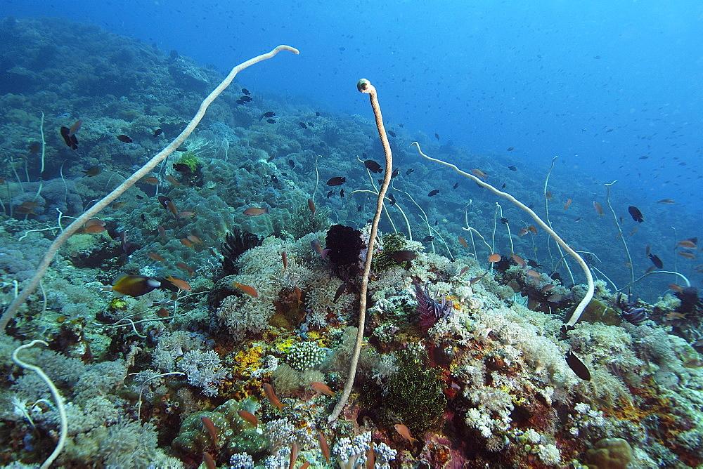 Whip corals (Junceella fragilis), Puerto Galera, Mindoro, Philippines, Southeast Asia, Asia
