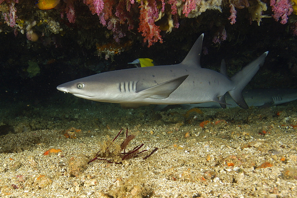Whitetip reef shark (Triaenodon obesus) swimming in cave, Puerto Galera, Mindoro, Philippines, Southeast Asia, Asia