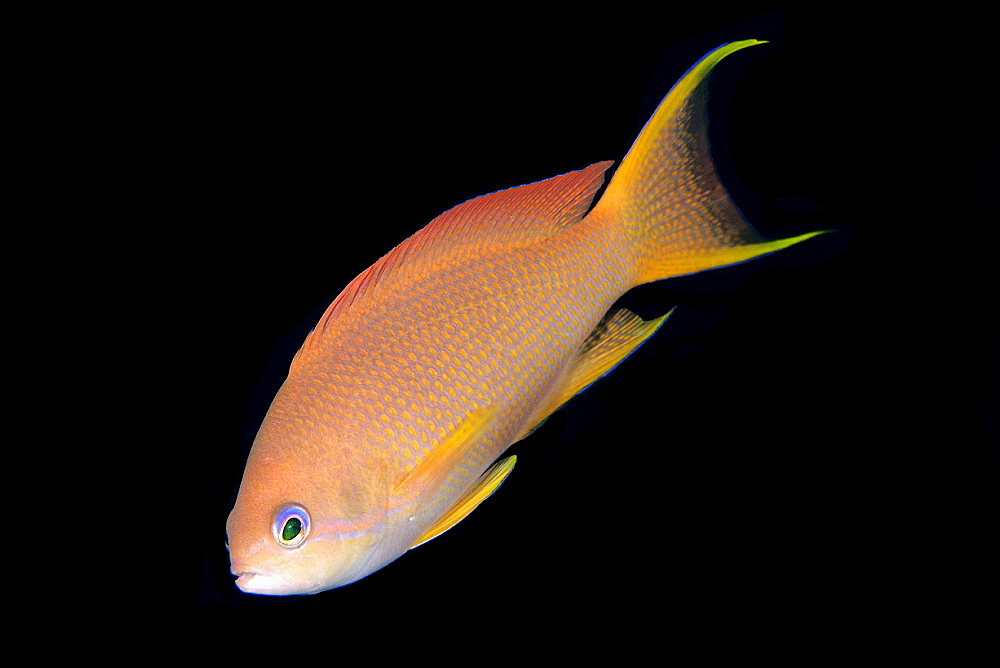 Female scalefin anthias (Pseudanthias squamipinnis), Monkey beach, Puerto Galera, Mindoro, Philippines, Southeast Asia, Asia
