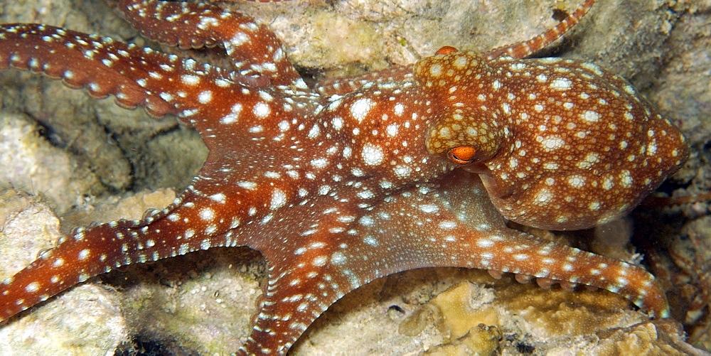 Starry night octopus (Octopus luteus) foraging on coral reef at night, Malapascua, Cebu, Philippines, Visayan Sea, Southeast Asia, Asia