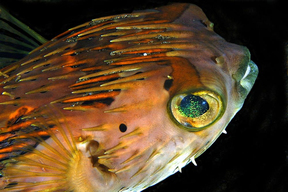 Black-blotched porcupinefish (Diodon liturosus), Dumaguete, Negros Island, Philippines, Southeast Asia, Asia
