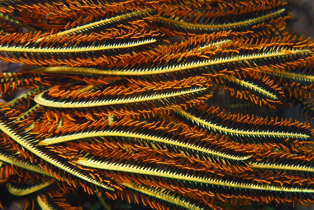 Feather star (Oxycomanthus bennetti), Dauin, Dumaguete, Negros Island, Philippines, Southeast Asia, Asia