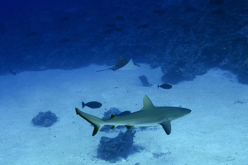 Gray reef shark (Carcharhinus amblyrhynchos) and spotted eagle ray (Aetobatus narinari), Namu Atoll, Marshall Islands, Pacific