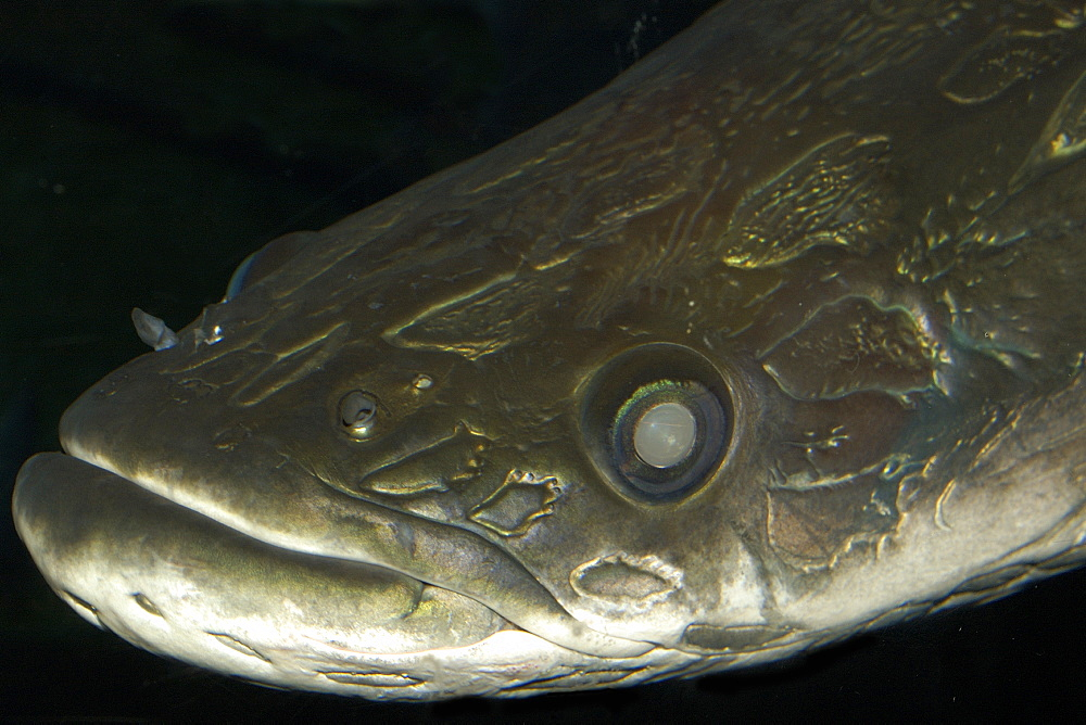 Arapaima (pirarucu) (Arapaima gigas) in captivity, the largest freshwater fish, found in the Amazon river basin, mainly in Brazil, South America