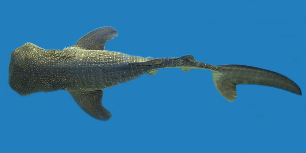 Whale shark (Rhincodon typus) pup specimen, circumglobal in warm and temperate seas - 920-1479