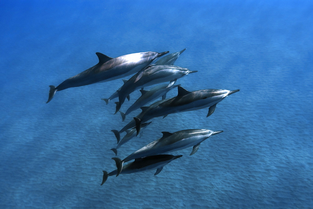 Spinner dolphins (Stenella longirostris), Big Island, Hawaii, United States of America, Pacific