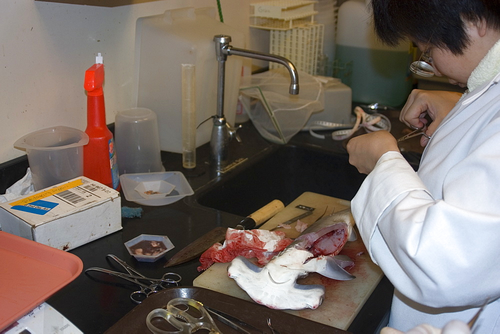 Graduate student dissects hammerhead shark pup (Sphyrna lewini), Hawaii Institute of Marine Biology, Kaneohe, Oahu, Hawaii, United States of America, Pacific