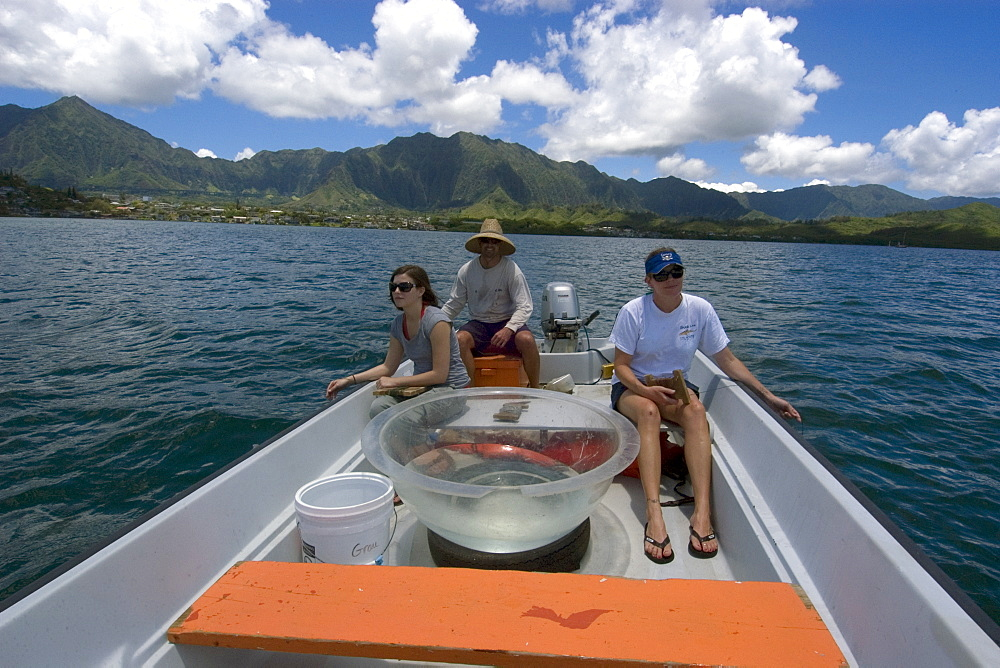 Scientists and graduate student collecting hammerhead shark pups for research, Hawaii Institute of Marine Biology, Kaneohe, Oahu, Hawaii, United States of America, Pacific
