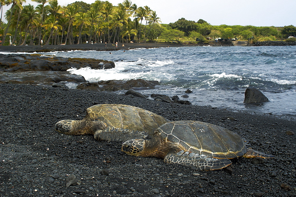 Green sea turtle (Chelonia mydas) resting on shore, Black Sand Beach, Big Island, Hawaii,, United States of America, Pacific