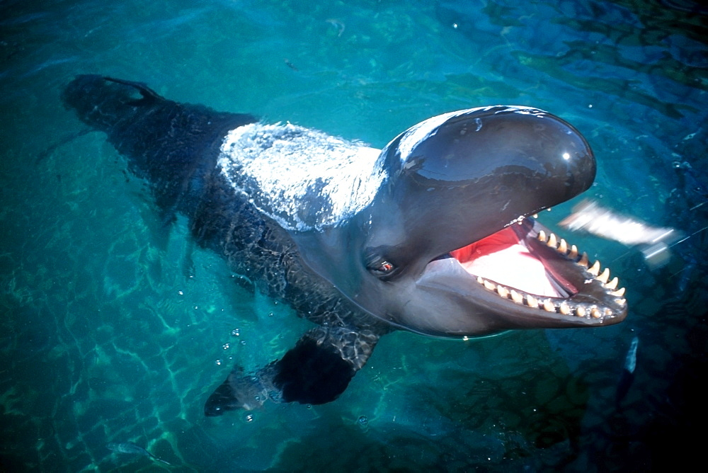 False killer whale (Pseudorca crassidens) with special sunscreen being fed. Oahu, Hawaii, United States of America, Pacific