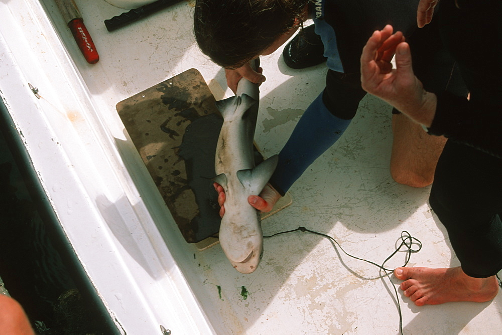Graduate students weighing a sandbar shark pup (Carcharhinus plumbeus) for scientific research,  Kaneohe Bay, Oahu, Hawaii, United States of America, Pacific