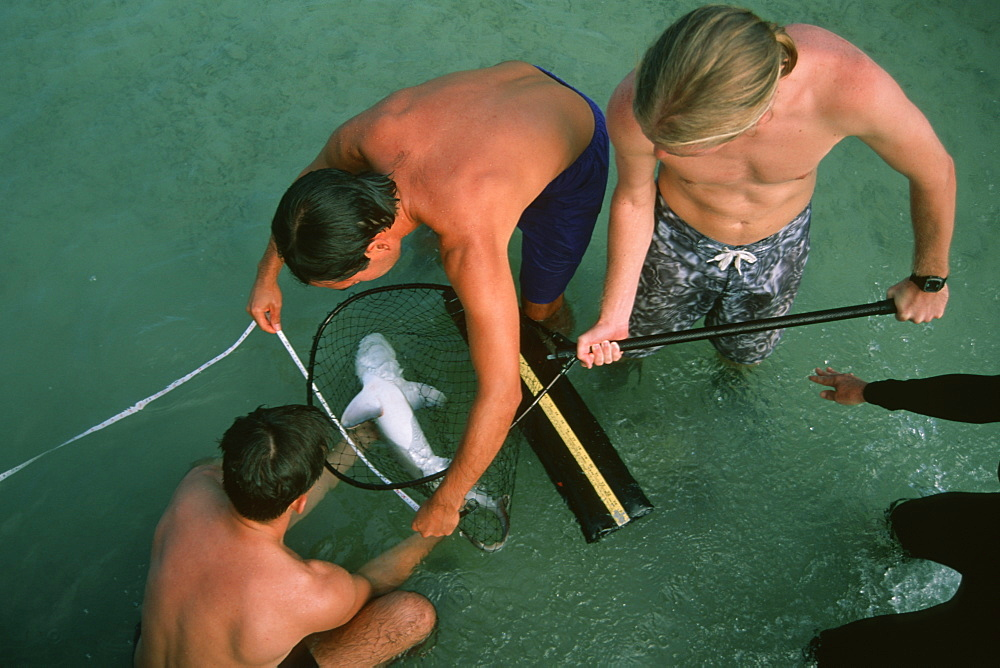 Graduate students measuring a sandbar shark pup (Carcharhinus plumbeus) for scientific research,  Kaneohe Bay, Oahu, Hawaii, United States of America, Pacific