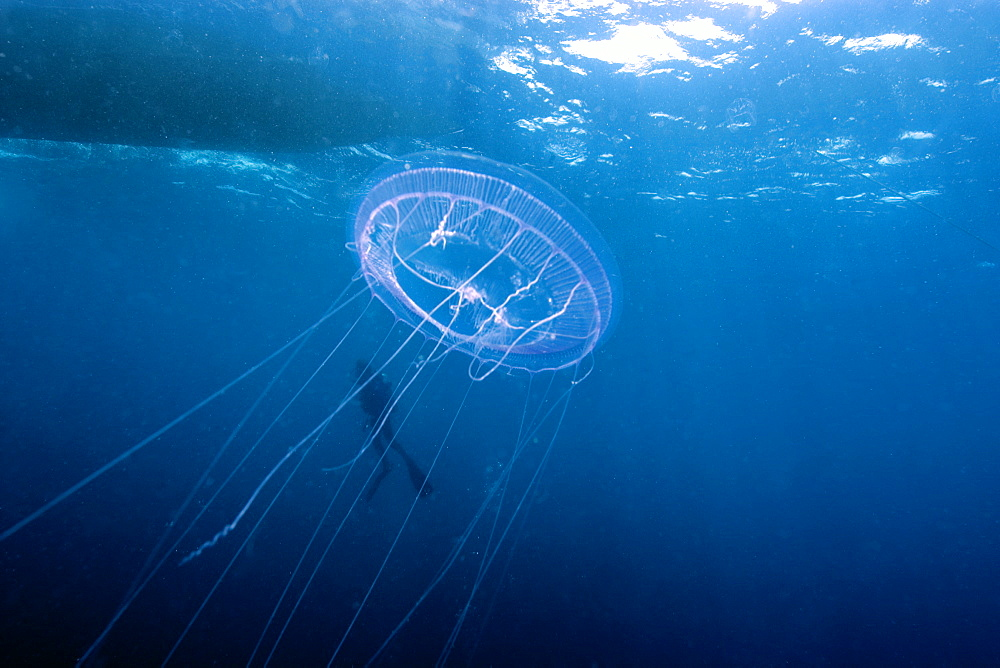 Hydrozoan medusa (Aequorea sp.) and diver, Truk lagoon, Chuuk, Federated States of Micronesia, Caroline Islands, Micronesia, Pacific Ocean, Pacific
