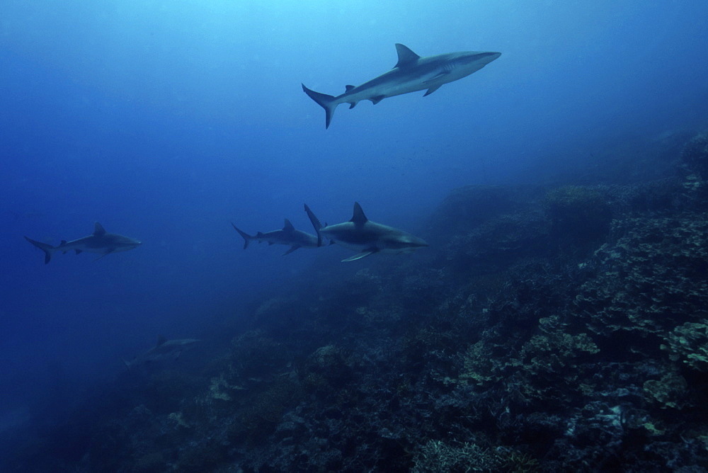 Gray reef sharks (Carcharhinus amblyrhynchos) glide over reef, Chuuk, Federated States of Micronesia, Caroline Islands, Micronesia, Pacific Ocean, Pacific