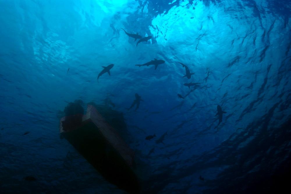 Gray reef sharks (Carcharhinus amblyrhynchos) circle under boat, Truk lagoon, Chuuk, Federated States of Micronesia, Caroline Islands, Micronesia, Pacific Ocean, Pacific