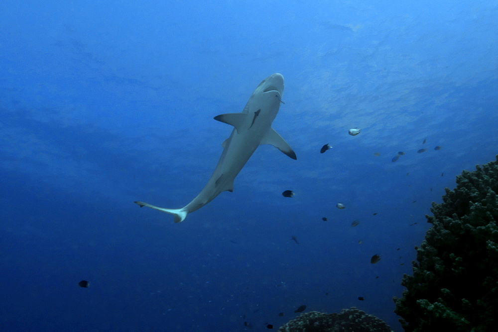 Gray reef shark (Carcharhinus amblyrhynchos) approaches reef to get cleaned by wrasse,Truk lagoon, Chuuk, Federated States of Micronesia, Caroline Islands, Micronesia, Pacific Ocean, Pacific