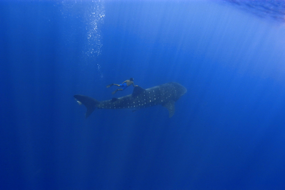 Whale shark (Rhincodon typus) and free diver, St. Peter and St. Paul's rocks, Brazil, South America