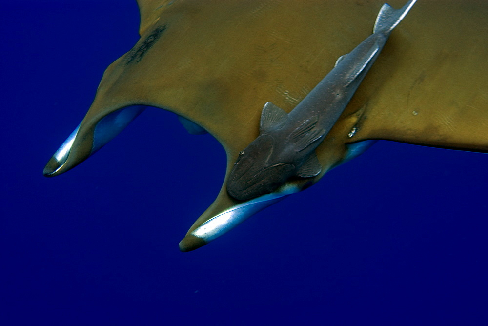 Mobula (devil ray) (Mobula tarapacana), and remora (Remora remora), St. Peter and St. Paul's rocks, Brazil, South America
