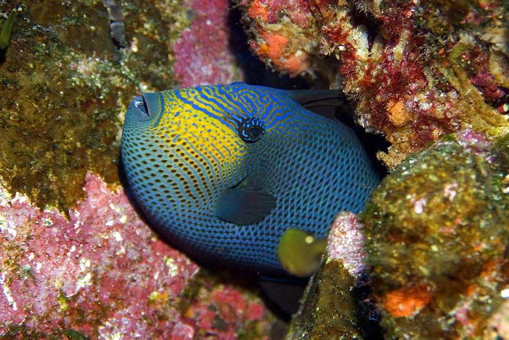 Black durgon (Melichthys niger), St. Peter and St. Paul's rocks, Brazil, South America