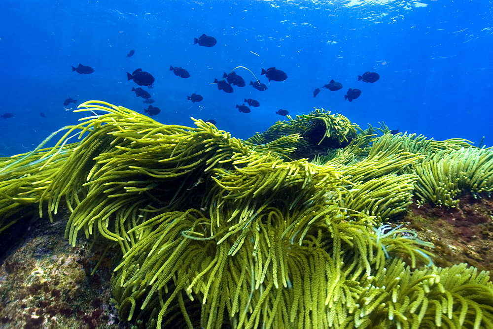 Green algae (Caulerpa racemosa) and black durgon (Melichthys niger), schooling, St. Peter and St. Paul's rocks, Brazil, South America