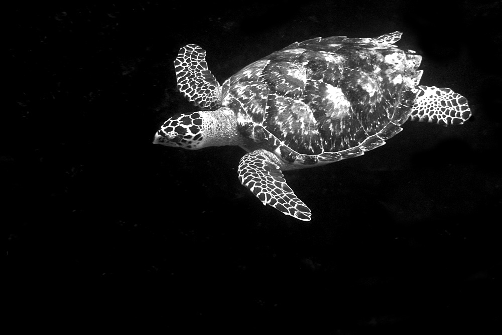Hawksbill turtle (Eretmochelys imbricata), St. Peter and St. Paul's rocks, Brazil, South America