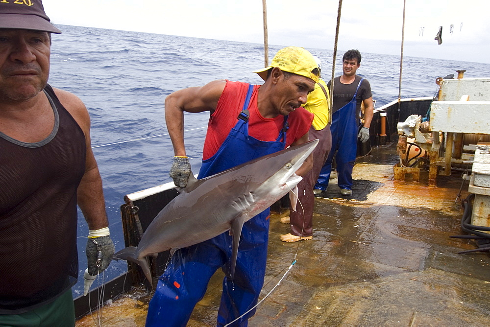 Capture of silky shark (Carcharhinus falcifomes), offshore commercial longline shark fishing, Brazil, South America - 920-1826
