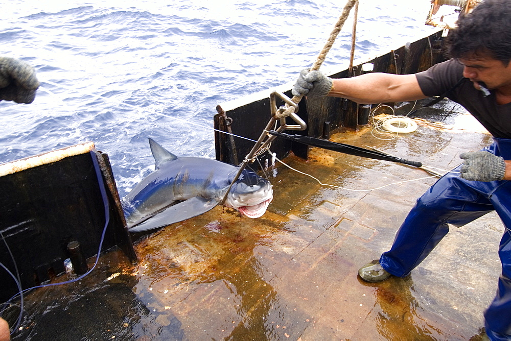 Capture of blue shark (Prionace glauca), offshore commercial longline shark fishing, Brazil, South America