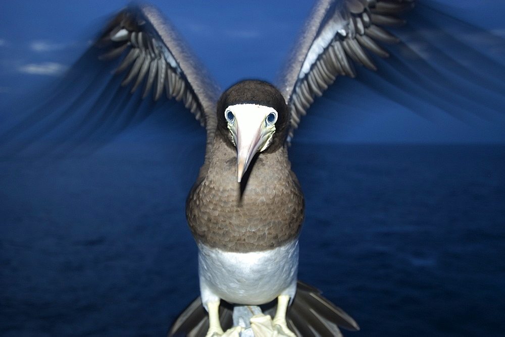 Brown booby (Sula leucogaster) at night, St. Peter and St. Paul's rocks Brazil, South America
