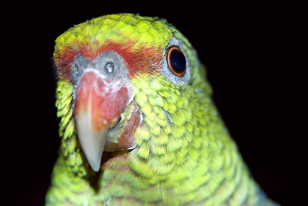 Vinaceous Amazon (Amazona vinacea), a parrot critically endangered found only in the South American Atlantic Forest, Feliciano Abdalla Private Reserve, Caratinga, Minas Gerais, Brazil, South America - 920-1861