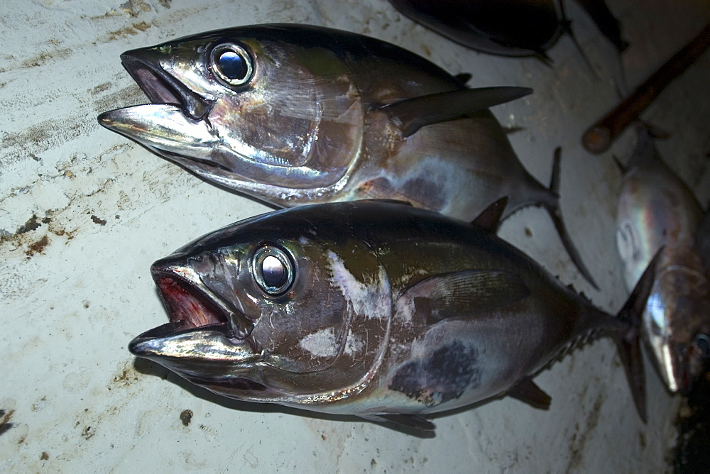 Bigeye tuna (Thunnus obesus), commercial fisheries, St. Peter and St. Paul's rocks, Brazil, South America - 920-1864
